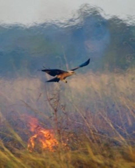 A black kite flies near a wildfire in Northern Australia. Photo: Bob Gosford / media handout