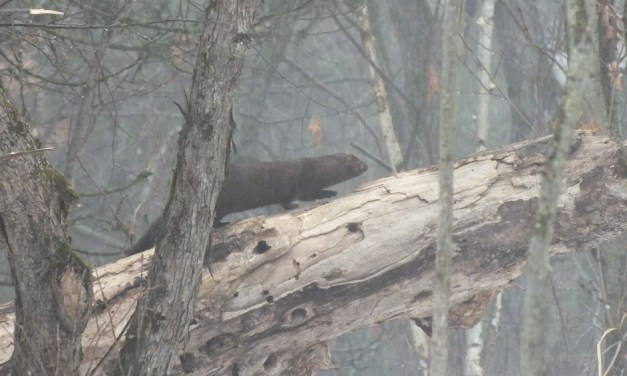 Wednesday Wildlife: Mighty Minks