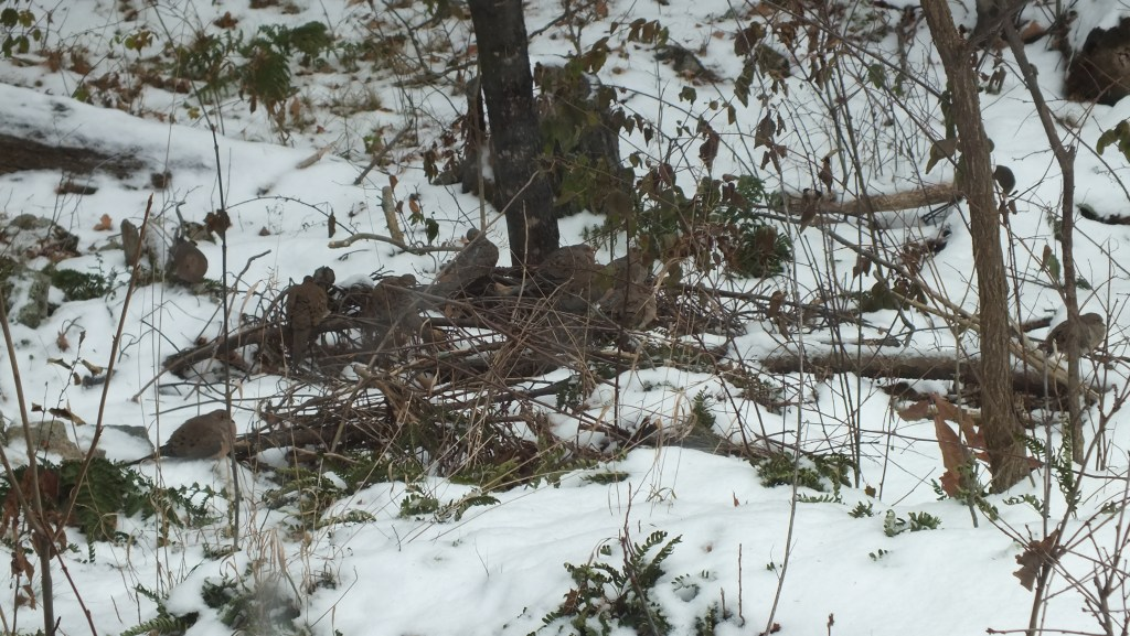 More than a dozen mourning doves hidden in the underbrush