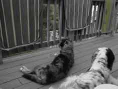 two dogs, a Catahoula and an English Setter sitting on a balcony