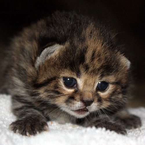 Wild Cats The Black Footed Cat