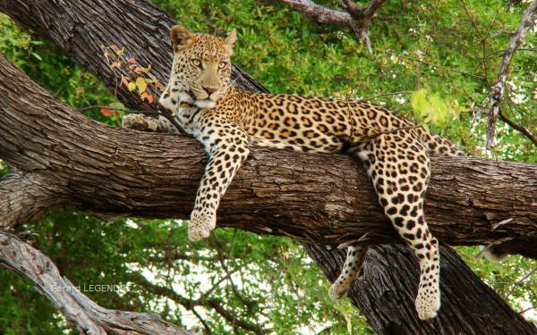 Leopard Animals