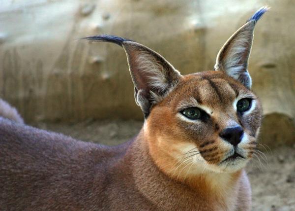 Wild Cats The Caracal  kimcampioncom