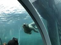 円山動物園 ホッキョクグマ館オープン!ララとリラがお引っ越し!