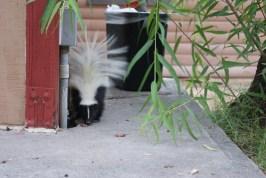 Skunk (met de restanten van onze BBQ)