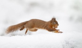 HotSpot_Squirrel_Snow_001