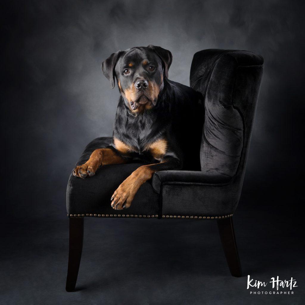 Rottweiler, dog photography, houston dog photorapher