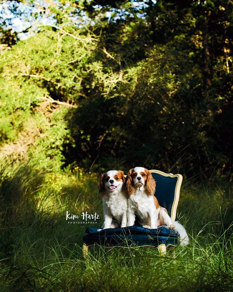cavaliers, dog portrait, pet photography