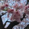 お花見・安行桜(あんぎょうざくら) @埼玉県川口市