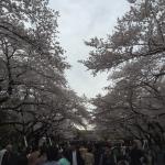 桜と歯医者と着物 @上野公園