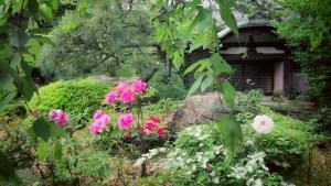 養福寺の牡丹
