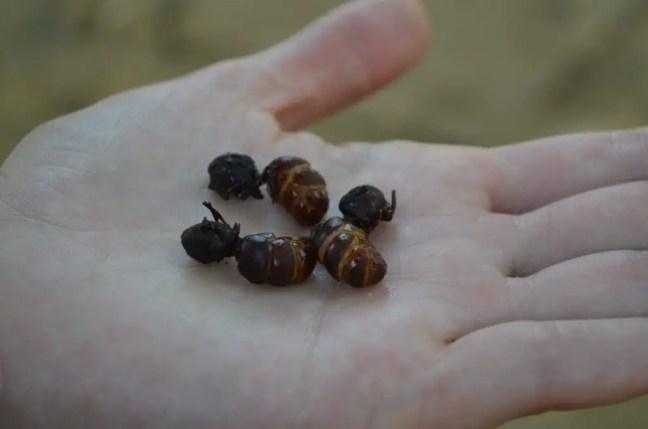 Hormigas culonas: een hapje knapperige aarde