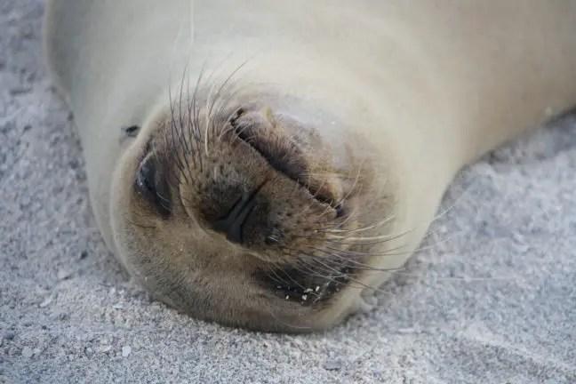 Zeer relaxte zeeleeuw, wat een schatje!