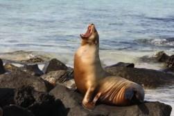 Gapende (?) zeeleeuw op de Galapagos eilanden.