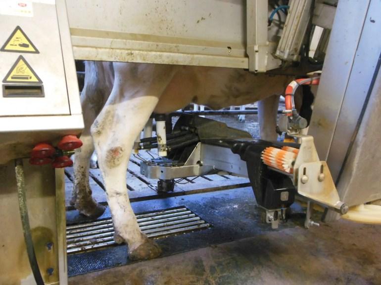 Een koe staat in de melkmachine van Hoeve Draafsel