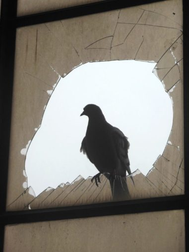 duif in raam Sphinxkwartier