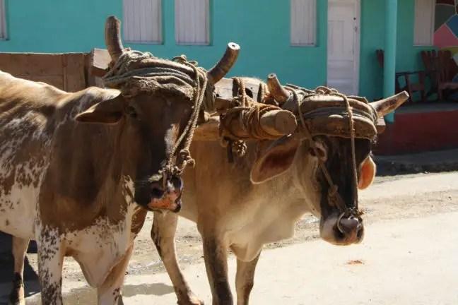 Terug in de tijd in Cuba met de ossenkar.