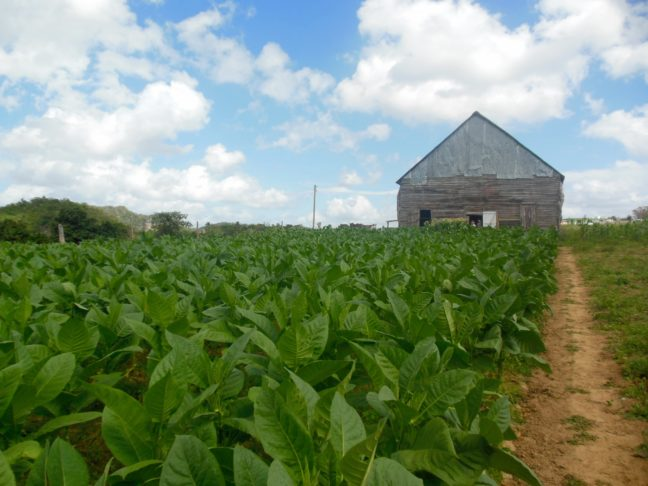 Tabaksplantage midden in de Valle de Viñales.