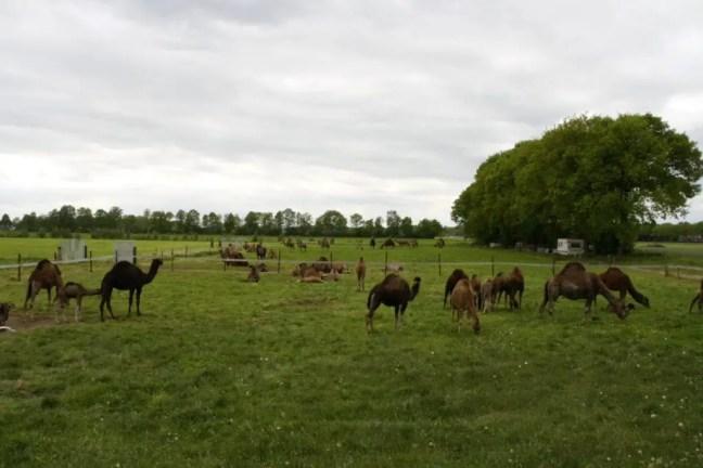 Dromedarissen of kamelen in de wei
