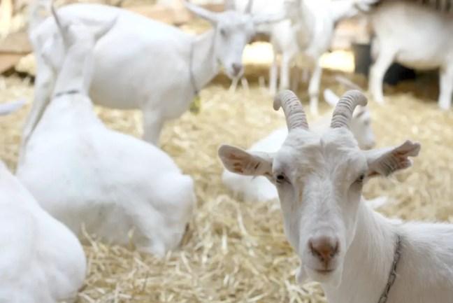 Vrijwel alle geiten op de boerderij zijn wit.