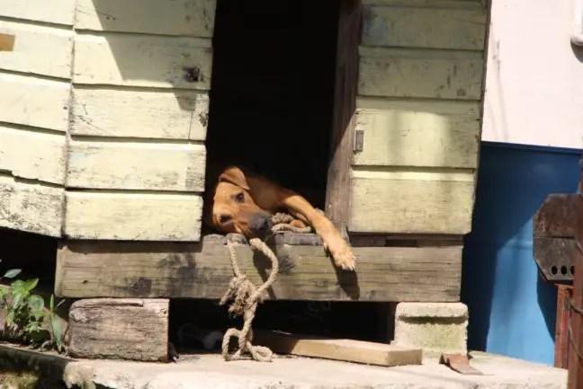 Hond in Belize