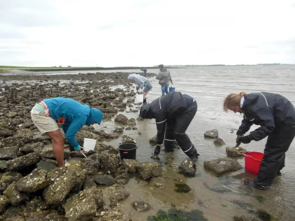 Gathering oysters in Zeeland, Goese Sas
