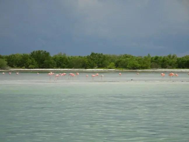 Flamingo's Isla Holbox