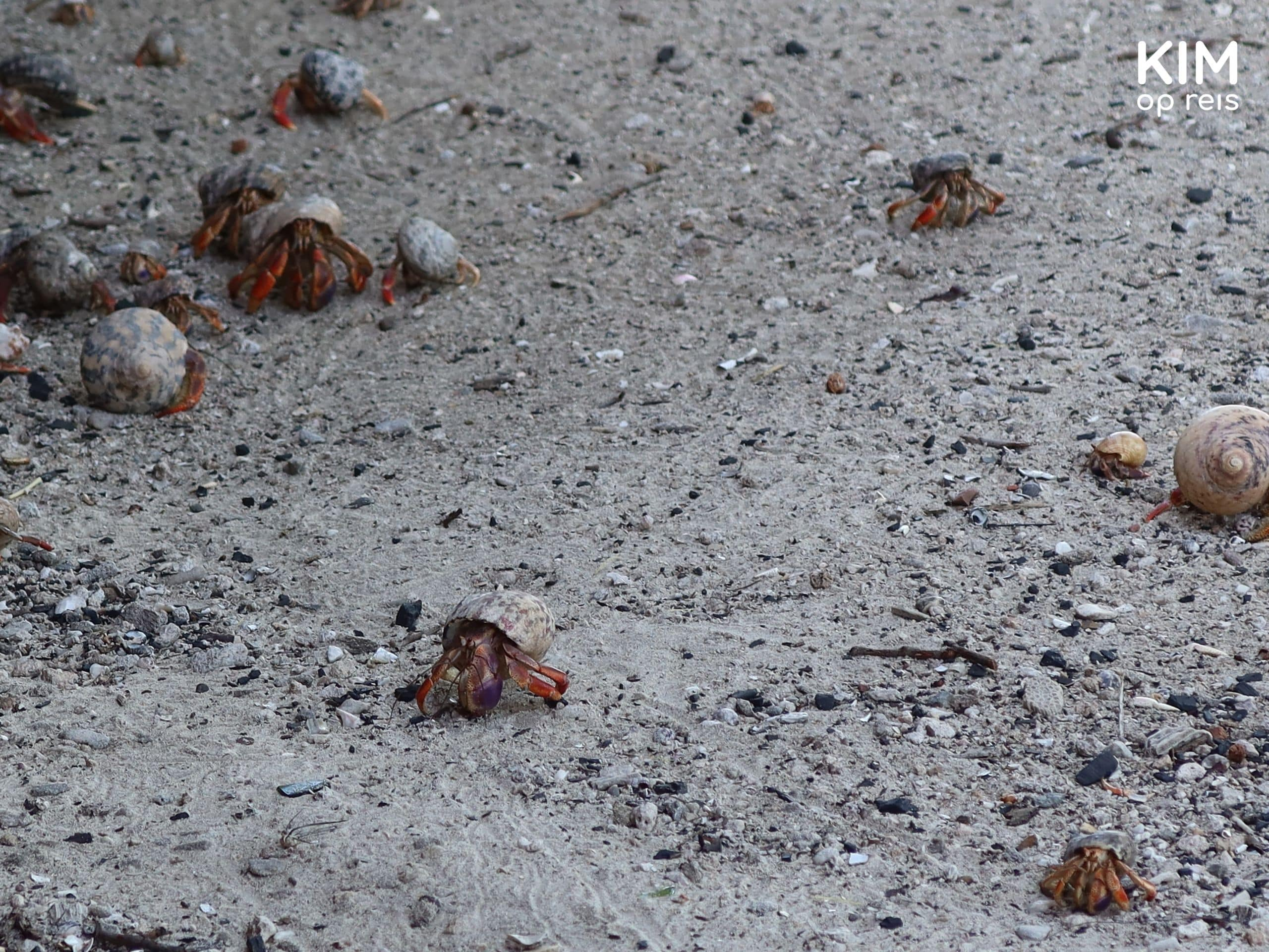 Hermit Crabs Klein Curaçao: the sandy beach is full of small hermit crabs