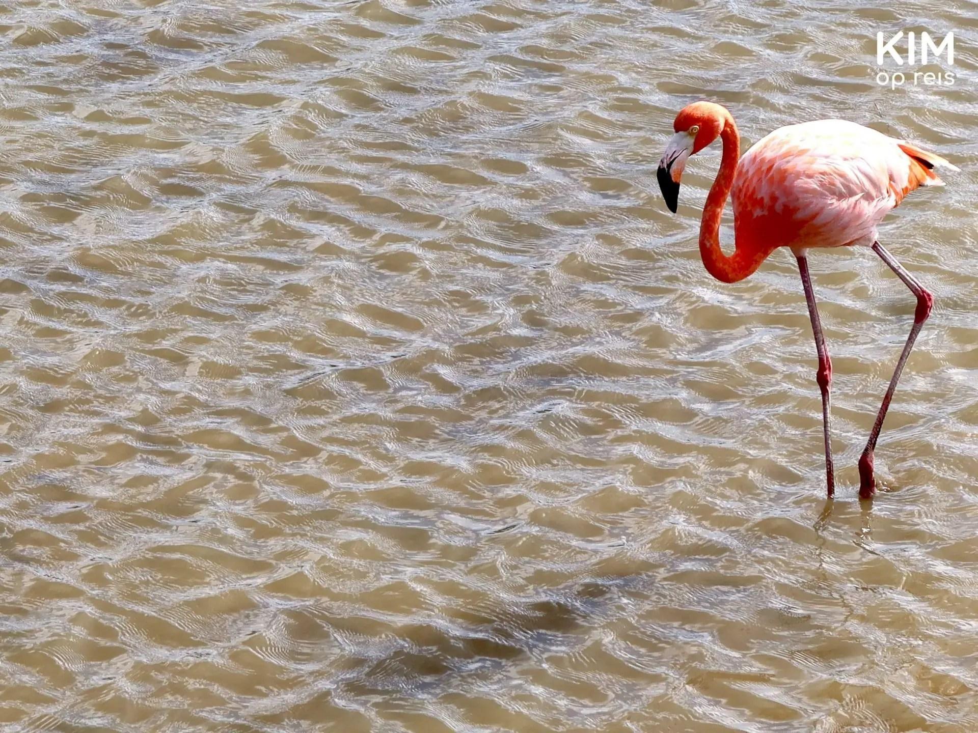 flamingo Curaçao