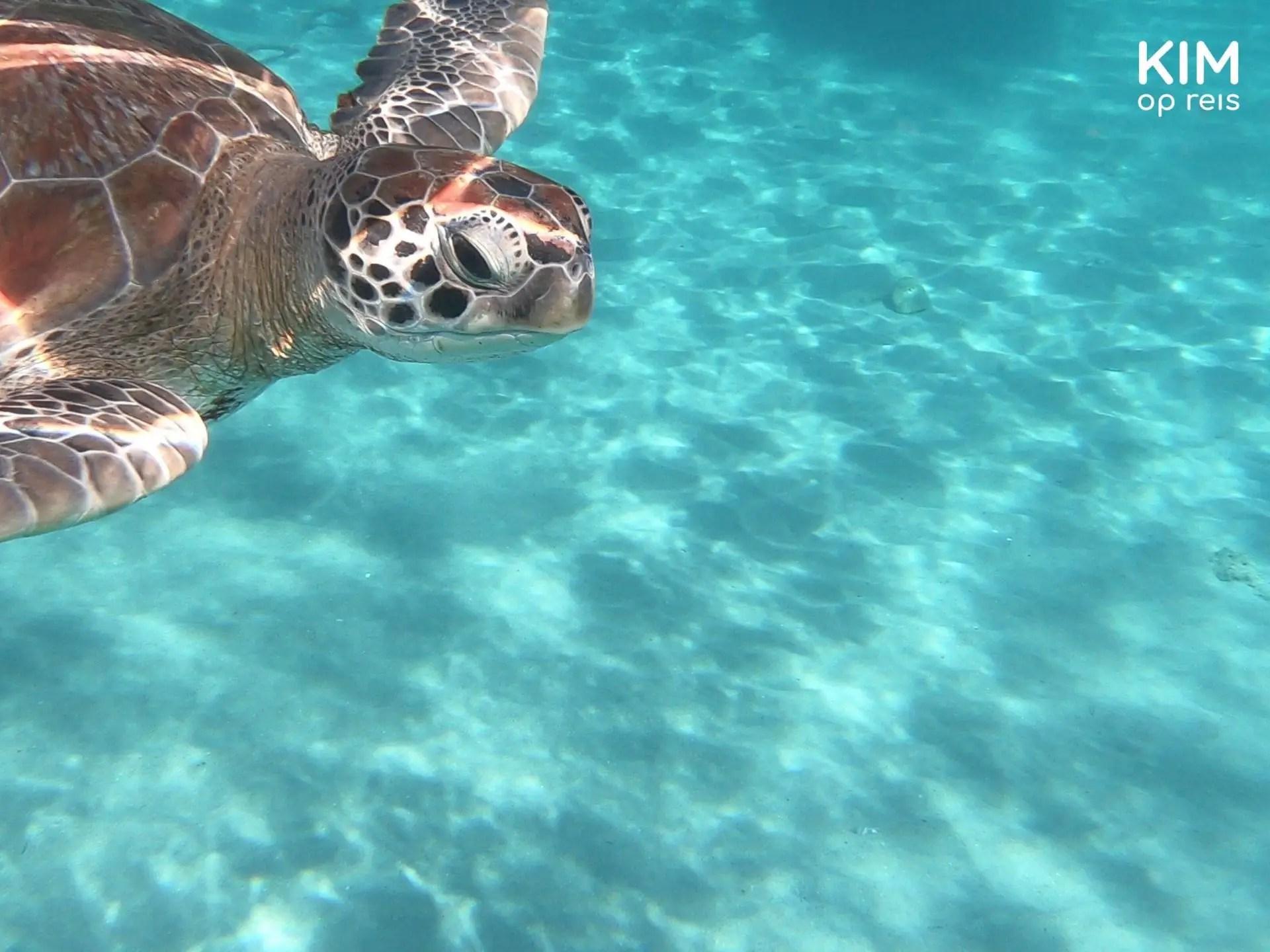 snorkelen schildpadden Curaçao: schildpad zwemt voorbij in de linkerbovenhoek