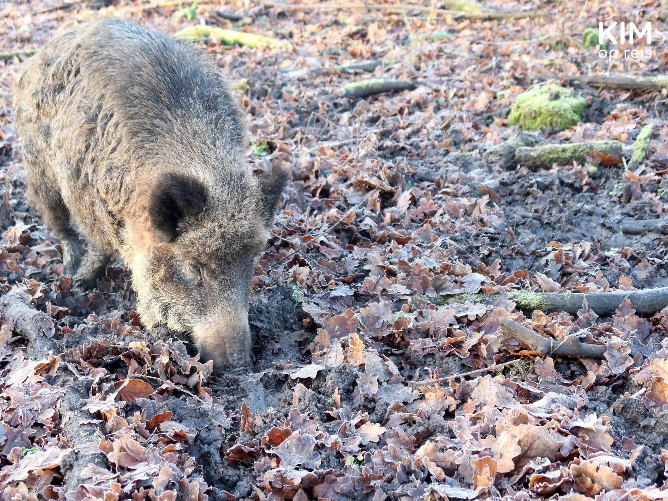 Natuurpark Lelystad wild zwijn: wild zwijn zoekt voedsel tussen de herfsbladeren