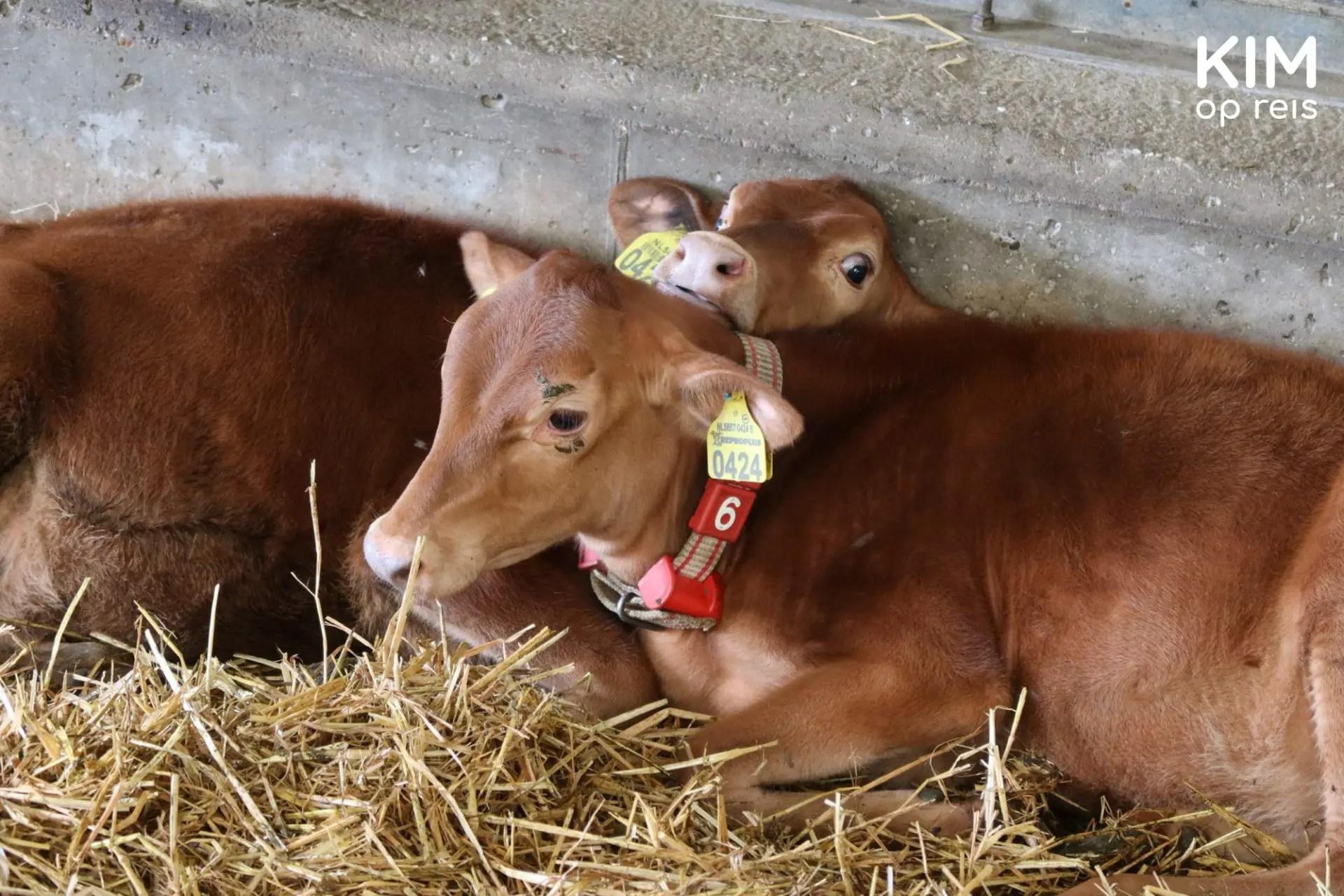Calves at cheese farm Henri Willig - two calves lie against each other in the barn