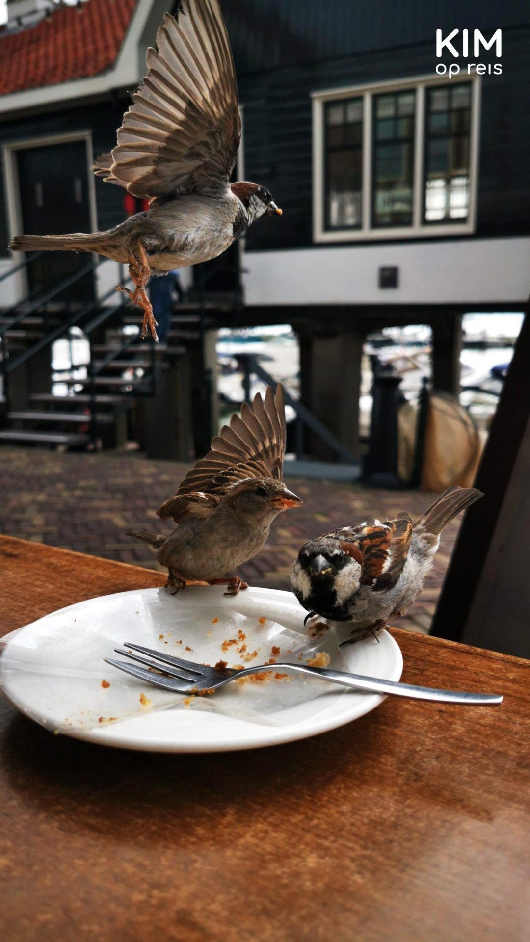 Sparrows Volendam - sparrows come to steal leftover cake; one flies off