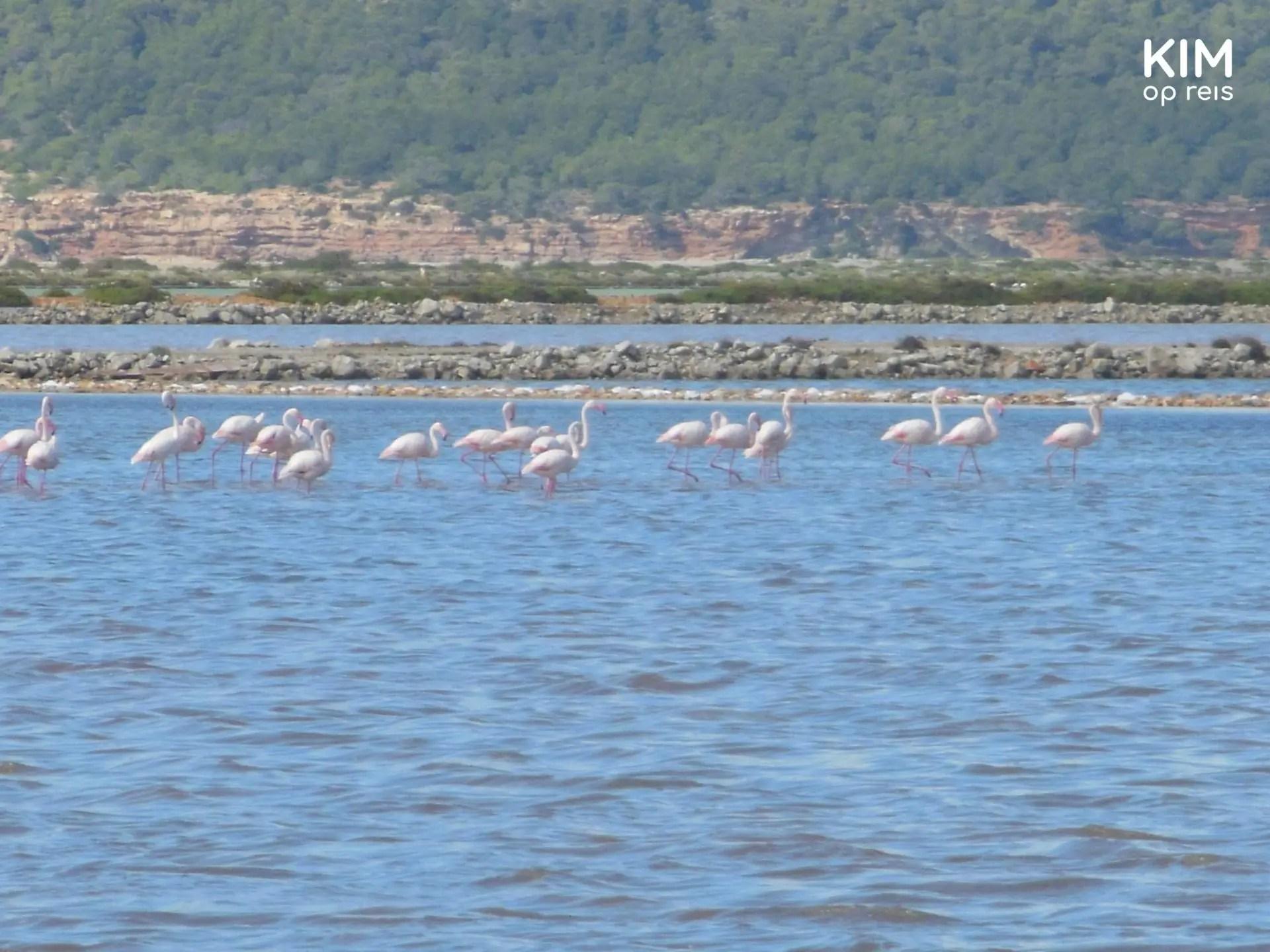 Flamingo's kijken op Ibiza - ingezoomde foto met een flamingokolonie in het water