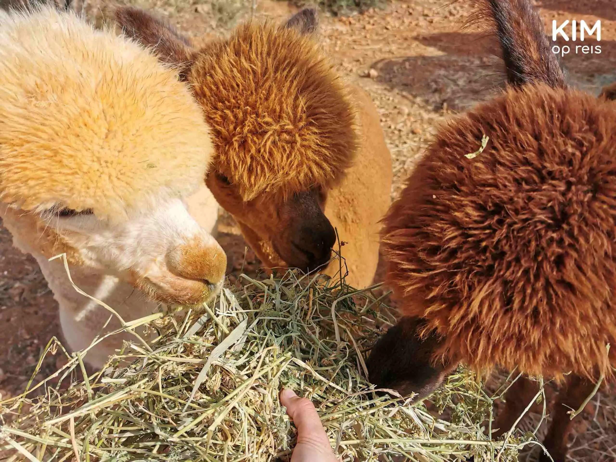 alpacaboerderij: drie alpaca's eten uit de hand