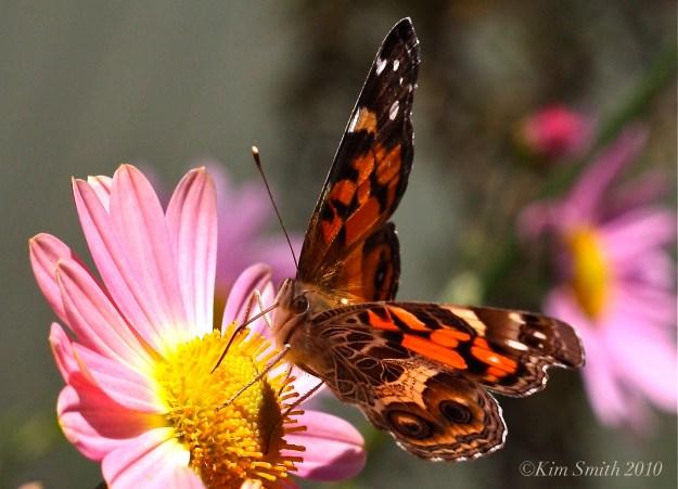 American Lady Butterfly ©Kim Smith 2010