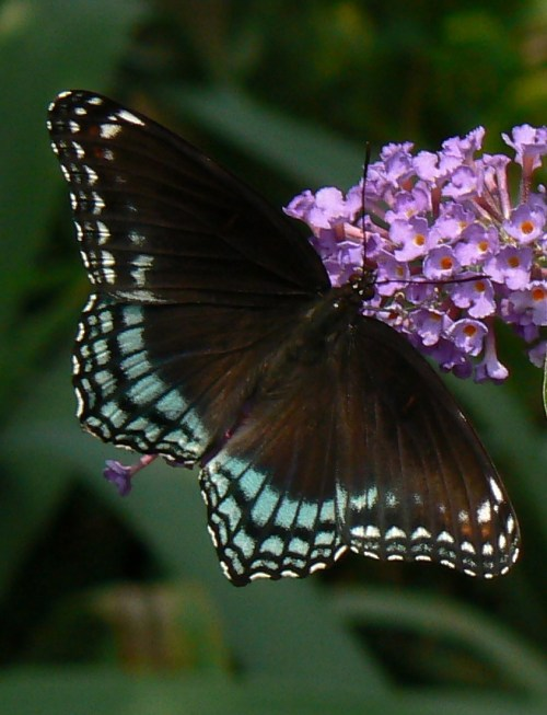 Red-spotted Purple (Limenitis arthemis astyanax)