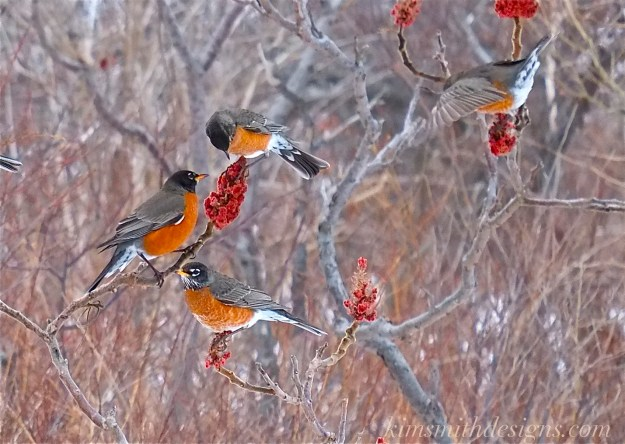 American Robin and Staghorn Sumac