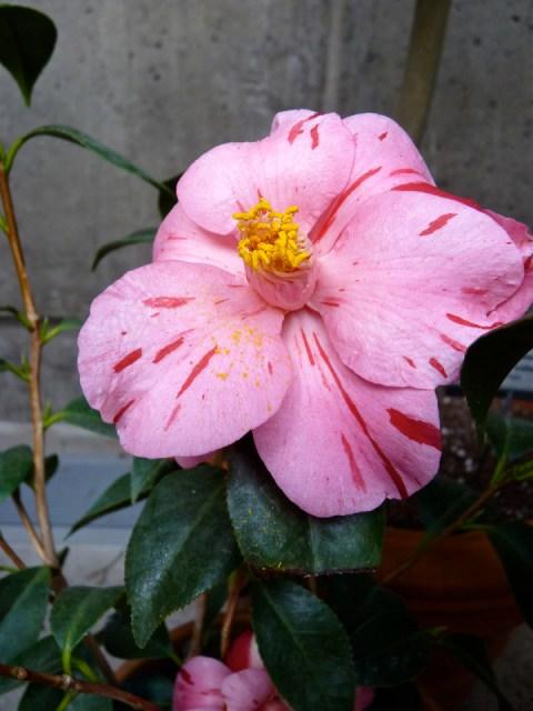 Camellia 'Haru-no-utena' in bloom at Tower Hill Limonaia