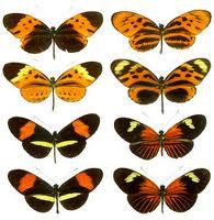 Heliconius butterflies