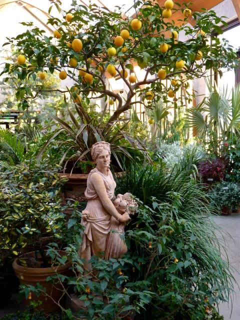 Limonaia at Tower Hill Botanic garden