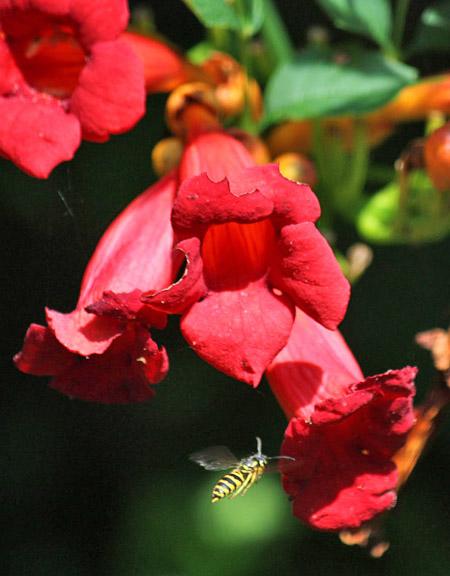 Trumpet creeper, hummingbird vine, trumpet vine, cow-itch vine