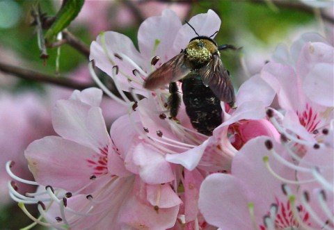 Pinkshell azalea and carpenter bee at Willowdale Estate