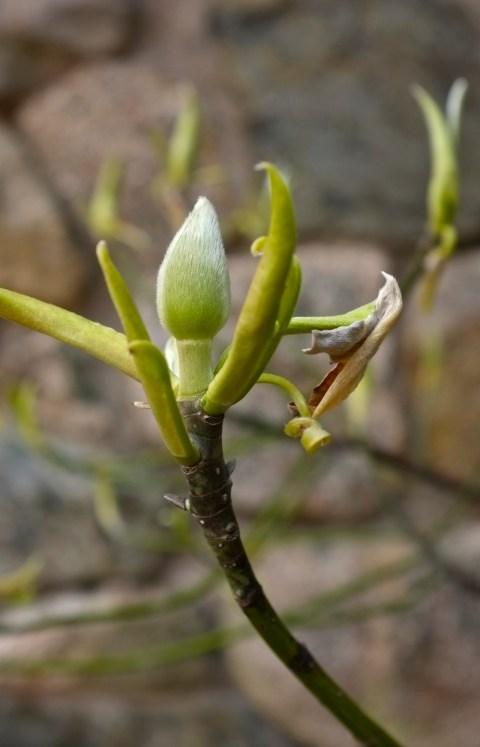 Sweetbay Magnolia virginiana bud Gloucester Massachusetts