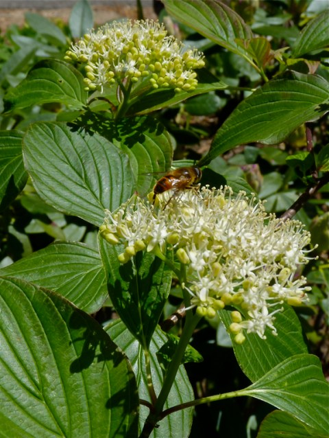 Pagoda dogwood (Cornus alternifolia)