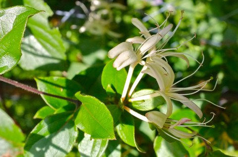 Lonicera japonica var. repens or Lonicera japonica 'Purpurea'