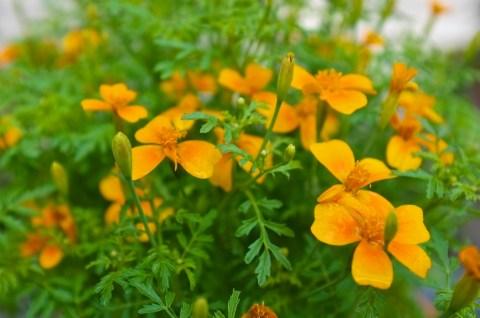 Mexican marigolds Tagetes tenuifolia