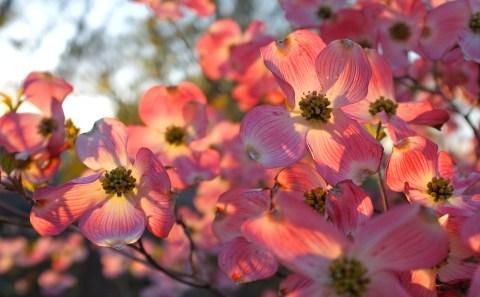 Cornus florida rubra ©Kim Smith 2012