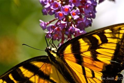 Eastern Tiger Swallowtail©Kim Smith 2010