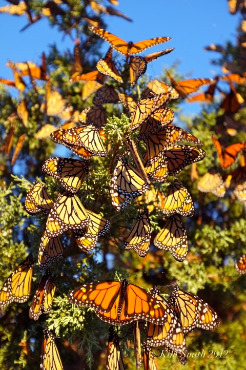 Monarch Butterfles Eastern Point Gloucester MA © Kim Smith 2012